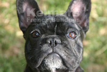 Kelmars French Bulldogs.jpg