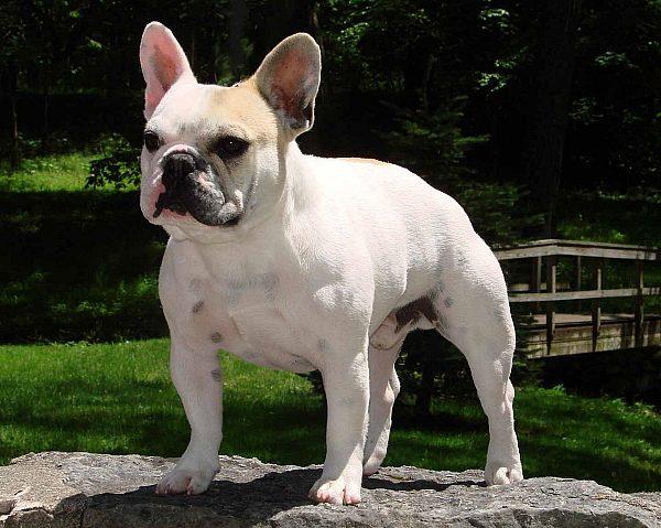 Stellar French Bulldogs.jpg