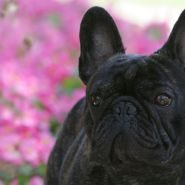 timthumbFabelhaft French Bulldogs.jpg