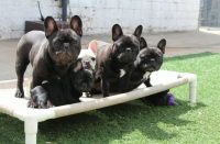 Dreamland French Bulldogs.JPG