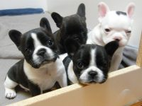 Enchante French Bulldogs.jpg