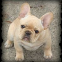 Dolce French Bulldogs.jpg