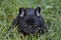 Trilogy French Bulldogs, Perm reg'd.jpg