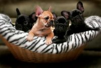 Bella Ridge French Bulldogs.JPG