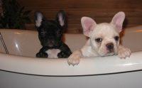 Derby City French Bulldogs.jpg