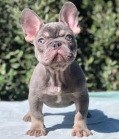 french bulldog puppies calif0ornia.jpg